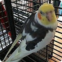 Adopt A Pet :: Buttercup - Punta Gorda, FL