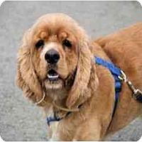 Adopt A Pet :: HoneyBear - Tacoma, WA