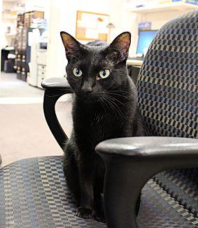 Domestic Shorthair Cat for adoption in Carlisle, Pennsylvania - Sydney