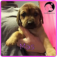 Adopt A Pet :: Mas - Pittsburgh, PA