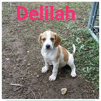 Hound (Unknown Type)/Labrador Retriever Mix Puppy for adoption in fort wayne, Indiana - Delilah
