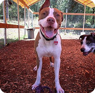 Boxer/American Pit Bull Terrier Mix Dog for adoption in Eugene, Oregon - Bentley