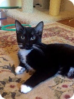 Domestic Mediumhair Kitten for adoption in Duluth, Georgia - Taffeta