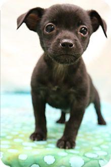 Miniature Pinscher Mix Puppy for adoption in Staunton, Virginia - Onyx