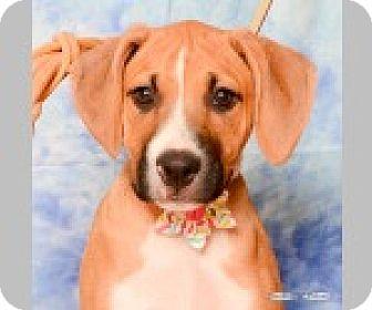 Boxer/Labrador Retriever Mix Puppy for adoption in Pittsboro, North Carolina - Heidi