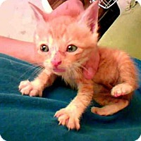 Domestic Mediumhair Cat for adoption in Conroe, Texas - PUNKIN
