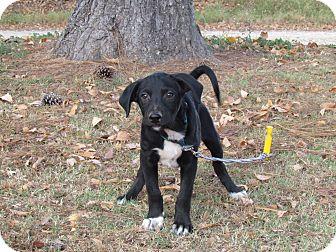 Australian Shepherd/Hound (Unknown Type) Mix Puppy for adoption in Newburgh, New York - ASHEN