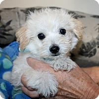 Adopt A Pet :: Teddy - Bellflower, CA