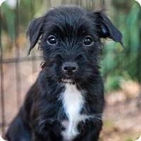 Adopt A Pet :: Joan Jett - Brownsboro, AL