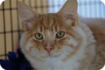 Domestic Mediumhair Cat for adoption in Lincoln, California - Sycamore (Charlie Brown)