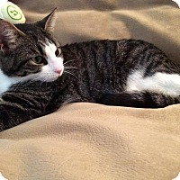 Adopt A Pet :: Mya - Waterbury, CT