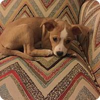 Adopt A Pet :: Ivy - Flossmoor, IL