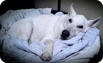 German Shepherd Dog Dog for adoption in Fairfax, Virginia - Bear