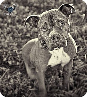 American Pit Bull Terrier Mix Dog for adoption in Marion, Wisconsin - Lexis