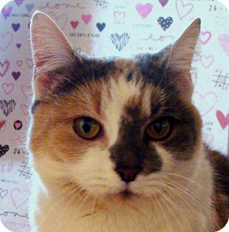 Domestic Shorthair Cat for adoption in Albany, New York - Bonnie