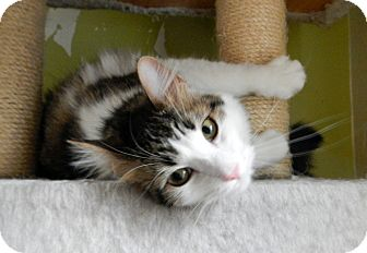 Maine Coon Cat for adoption in Troy, Michigan - Muffin