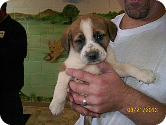 St. Bernard/Hound (Unknown Type) Mix Puppy for adoption in Sudbury, Massachusetts - ELLIOTT - ADOPTION PENDING