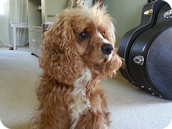 Cocker Spaniel Dog for adoption in Tacoma, Washington - OLIVER