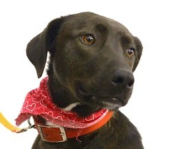 Labrador Retriever/Spaniel (Unknown Type) Mix Dog for adoption in Wharton, Texas - Izzy
