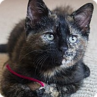Adopt A Pet :: Fuzzy Bear - Chicago, IL