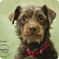 Adopt A Pet :: Teagan - Phoenix, AZ