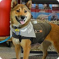 Adopt A Pet :: Inca - Centennial, CO