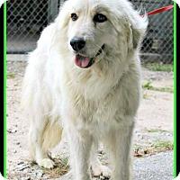 Adopt A Pet :: Snowflake - Lee, MA