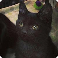 Adopt A Pet :: Scruffers - Hamilton, ON