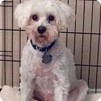 Adopt A Pet :: Buddy Boy - Spring, TX