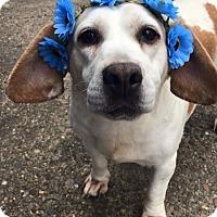 Adopt A Pet :: Daisy#1 - Sparta, NJ