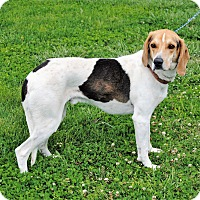 Coonhound Mix Dog for adoption in Parsons, Kansas - Benson