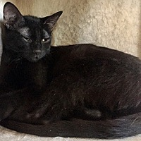 Domestic Shorthair Cat for adoption in Santa Fe, New Mexico - Negrosito