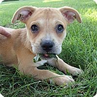 Adopt A Pet :: Cheddar - Bedford, VA