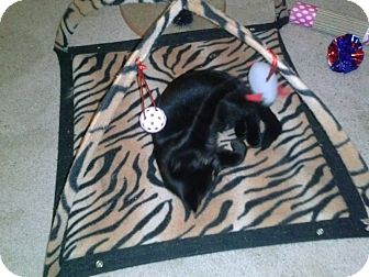 Domestic Shorthair Kitten for adoption in Warren, Michigan - Tot
