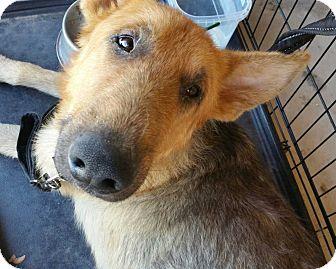 German Shepherd Dog Mix Dog for adoption in San Angelo, Texas - Lakota