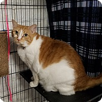 Domestic Shorthair Cat for adoption in Phoenix, Arizona - MiaoMiao