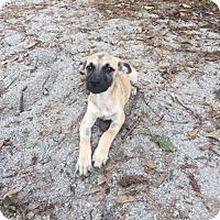 Shepherd (Unknown Type) Mix Puppy for adoption in Sayville, New York - Heidi
