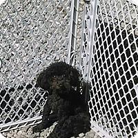 Adopt A Pet :: MARYANN - 3 legs - WOODSFIELD, OH