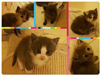 Domestic Shorthair Kitten for adoption in Irwin, Pennsylvania - Available soon