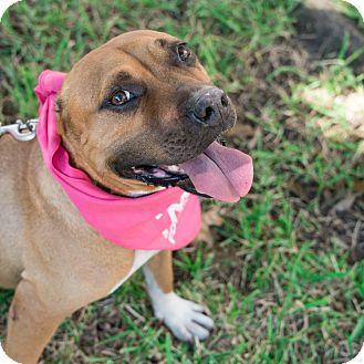 Boxer/Pit Bull Terrier Mix Dog for adoption in Houston, Texas - Stella