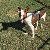 Adopt A Pet :: Chico - Seneca, SC