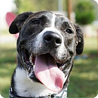 American Pit Bull Terrier Mix Dog for adoption in Charlotte, North Carolina - Layla