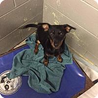 Miniature Pinscher Mix Puppy for adoption in Matawan, New Jersey - Folger