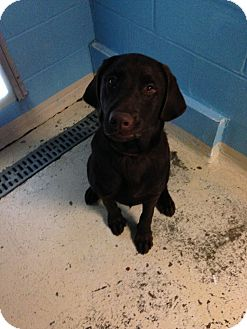 Labrador Retriever Puppy for adoption in Bowie, Maryland - Lemmy