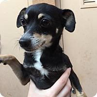 Adopt A Pet :: Honeysuckle - Westminster, CA