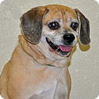 Adopt A Pet :: Harry - Port Washington, NY