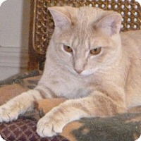 Domestic Shorthair Cat for adoption in Buhl, Idaho - Buffington