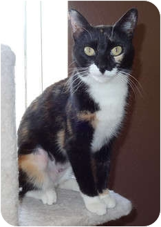 Calico Cat for adoption in Palmdale, California - Maddison