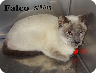 Siamese Cat for adoption in Bentonville, Arkansas - Falcoe
