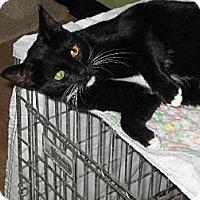 Domestic Shorthair Cat for adoption in Sherman Oaks, California - Ally - FeLV+